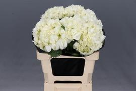 <h4>Hortensia Hyd. Blanca</h4>