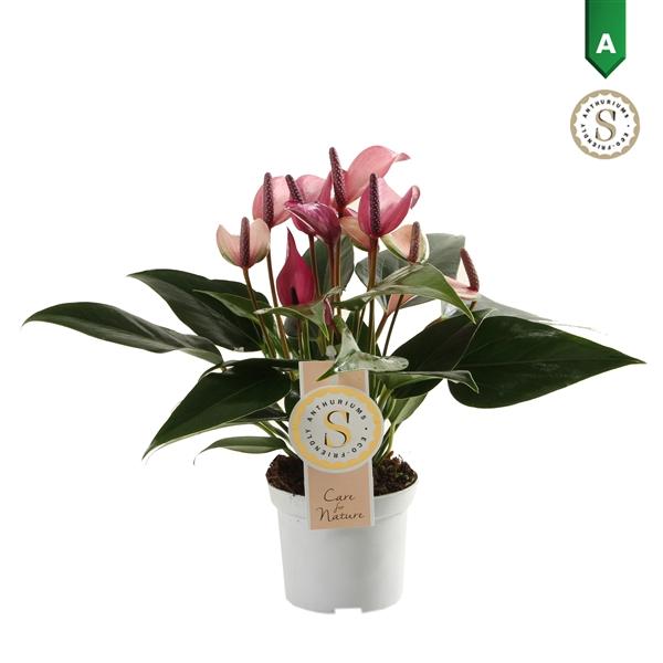 <h4>Anthurium Zizou 9cm</h4>