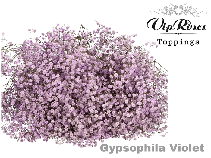 <h4>GYPS PA VIOLET</h4>