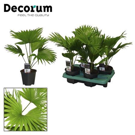 <h4>Livistona Rotendifolia</h4>