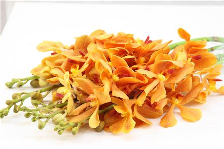 <h4>Dendrobium Mokara Oranje</h4>