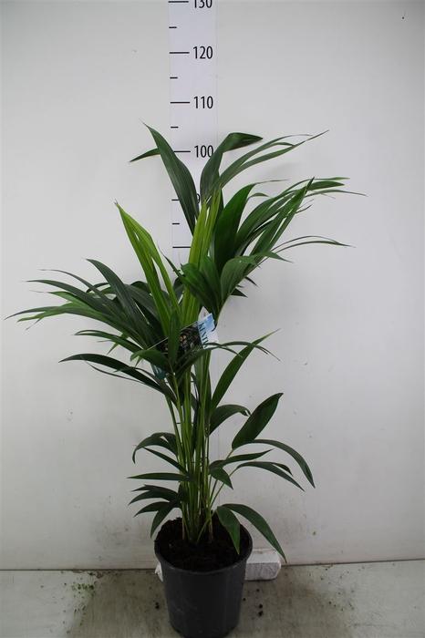 <h4>Howea Forsteriana 110 Cm</h4>