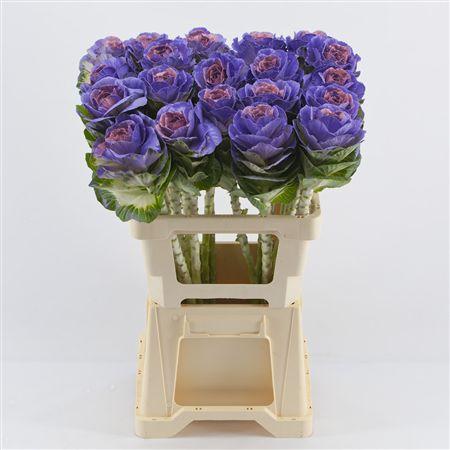 <h4>Brassica Purple-pink</h4>