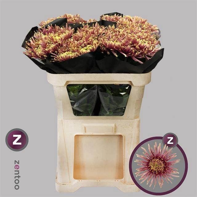 <h4>Chrysanthemum PL 'Baltazar Flame'</h4>