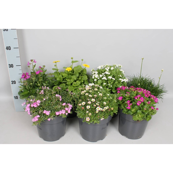 <h4>vaste planten 19 cm Diverse soorten</h4>