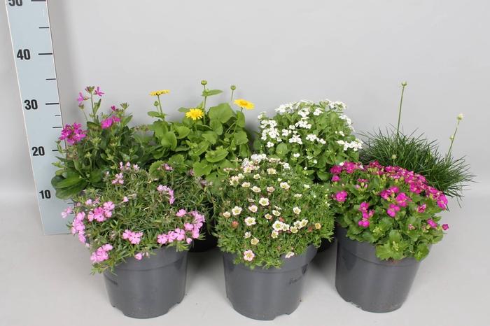 <h4>vaste planten 19 cm  Divers</h4>