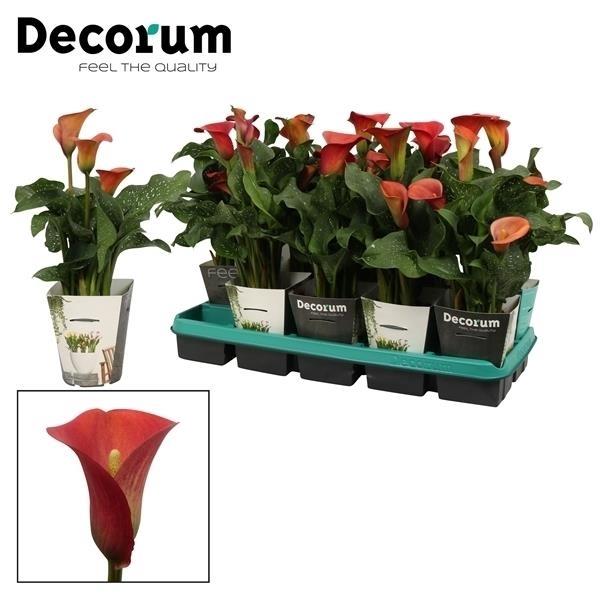 <h4>Zantedeschia Red Alert in Potcover (Decorum)</h4>