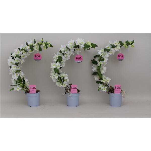 <h4>Dendrobium Nobilé, Special Boomerang</h4>