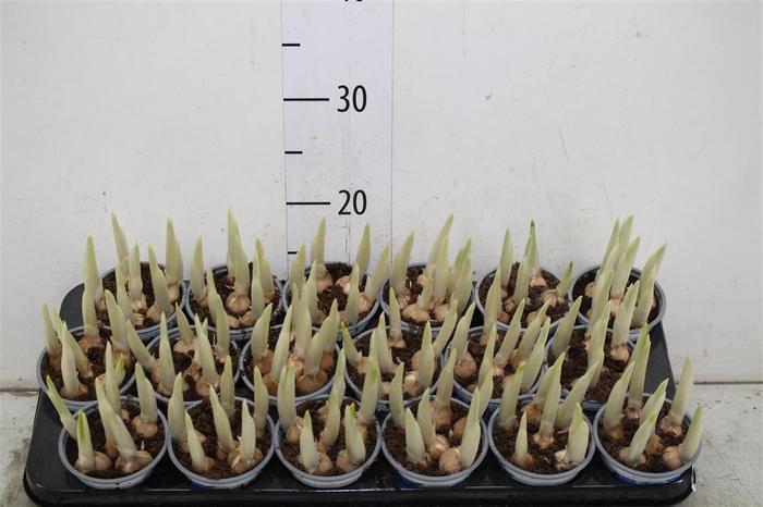 <h4>Iris Reticulata</h4>