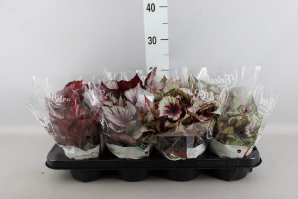 <h4>Begonia BD 'Beleaf'   ...mix</h4>
