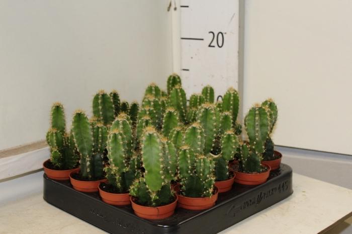 Cereus peruvianus Florida