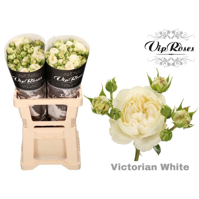 <h4>R TR VICTORIAN WHITE</h4>