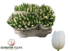 <h4>Tulipan White Marvel</h4>