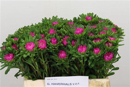 <h4>Callis Fuchsia</h4>