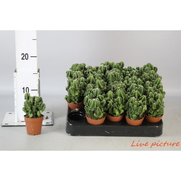 <h4>Cereus Peruvianus Paolina</h4>
