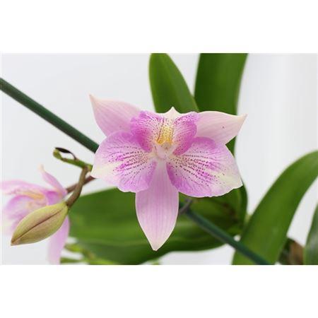<h4>Laelia Cattleya 9 Cm</h4>
