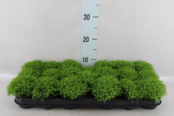 <h4>Selaginella apoda</h4>