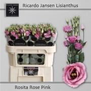 <h4>Lisianthus du Rosita Pink</h4>