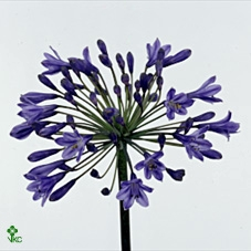 <h4>Agapanthus Intermedia Dark Blue</h4>