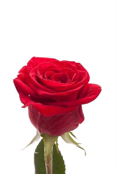 <h4>Rosa roja nacional</h4>