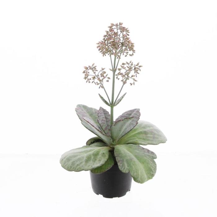 <h4>Kalanchoe Wild Flowers Desert Surprise</h4>