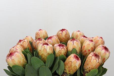 <h4>Protea Grandicolor</h4>