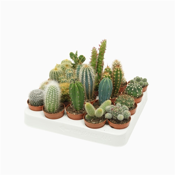 <h4>Cactus mix 5,5 cm.</h4>