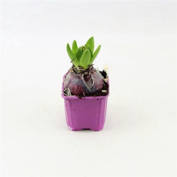 <h4>Hyacinthus Purple Sensation</h4>
