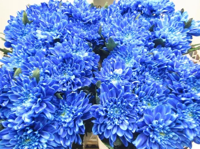 <h4>Chr G Zembla Blauw</h4>