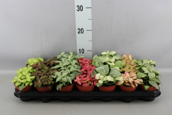 <h4>Fittonia   ...mix 7</h4>