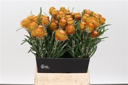 <h4>Dryandra Formosa</h4>