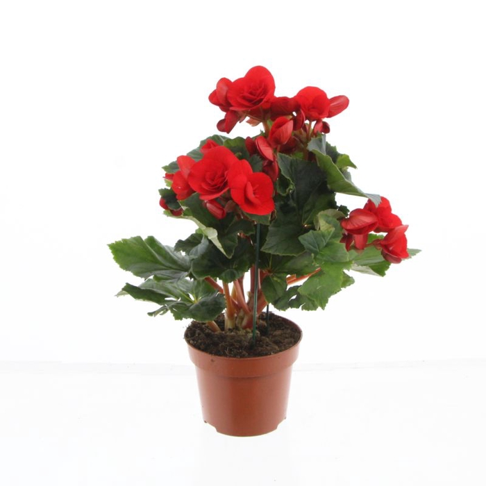 <h4>Begonia el. Baladin</h4>