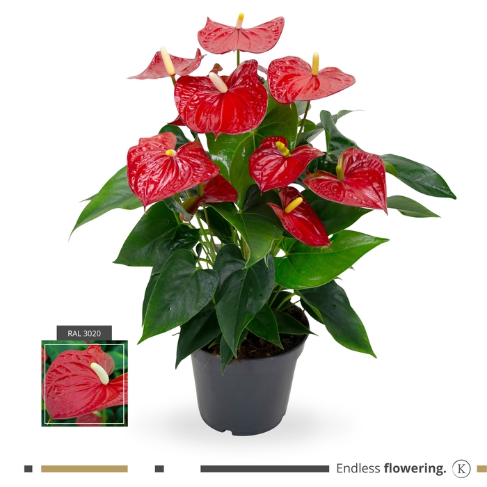 <h4>Anthurium Karma Red</h4>