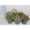 vaste planten 19 cm Diverse soorten