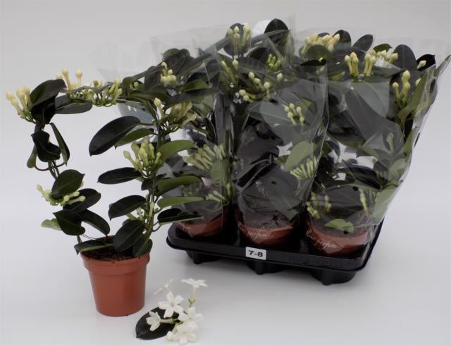 <h4>Stephanotis floribunda overig</h4>