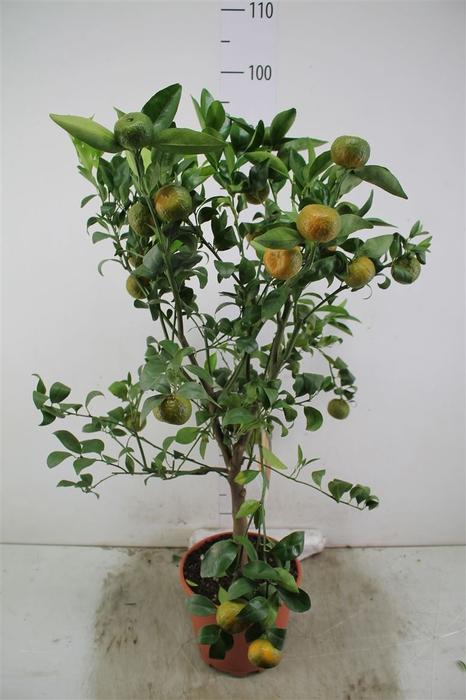 <h4>Citrus Mandarin Op Stam</h4>
