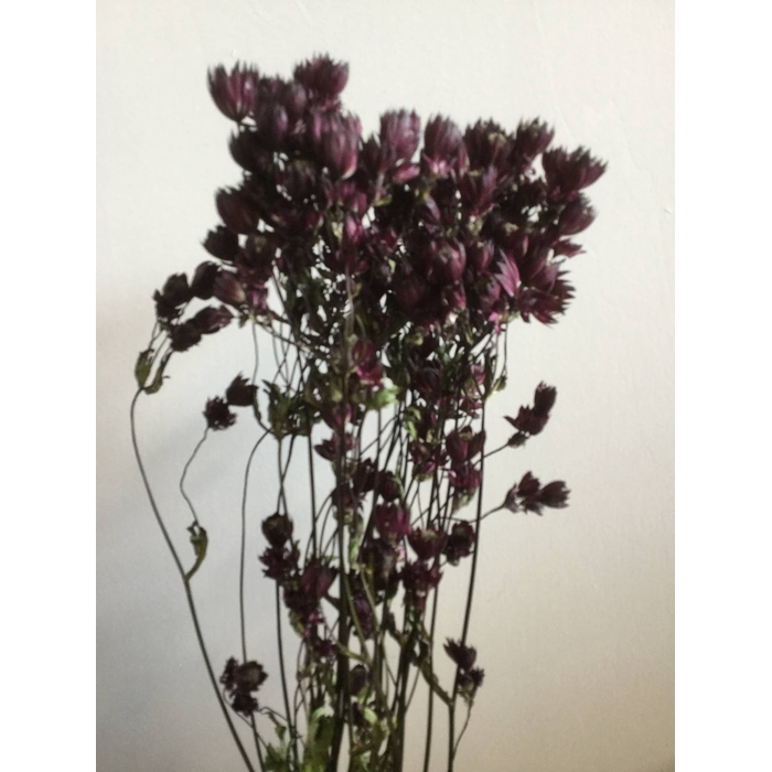 <h4>DRIED FLOWERS - ASTRANTIA ROOD 20PCS</h4>