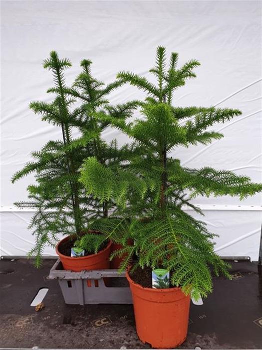 <h4>Araucaria Heterophylla 1pp</h4>