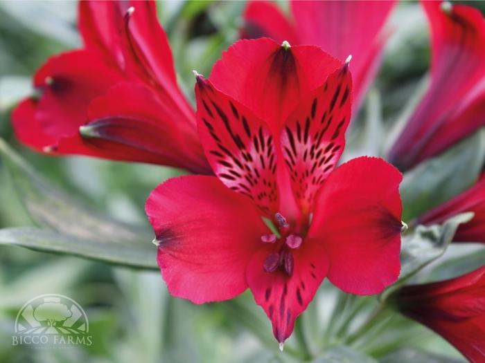 <h4>Alstroemeria roja select (BENCHMARCK)</h4>
