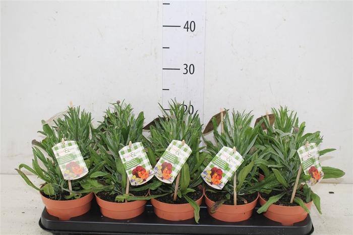 <h4>Centaurea Look And Taste</h4>