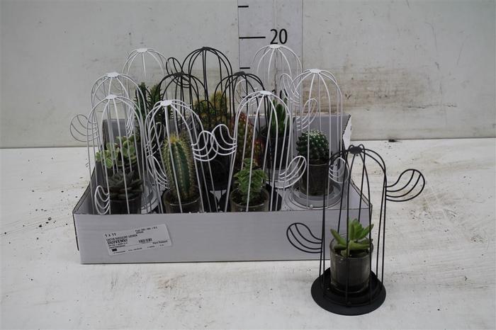 <h4>Cactus/succulent Gemengd In Glas + Standaard</h4>