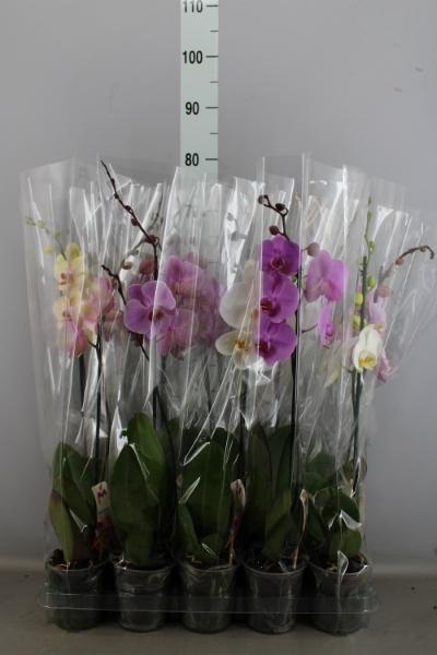 <h4>Phalaenopsis   ...mix  5</h4>