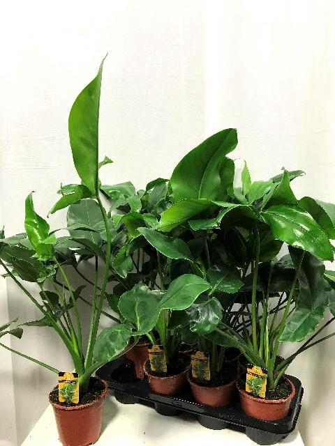 <h4>Philodendron 14Ø 70cm</h4>