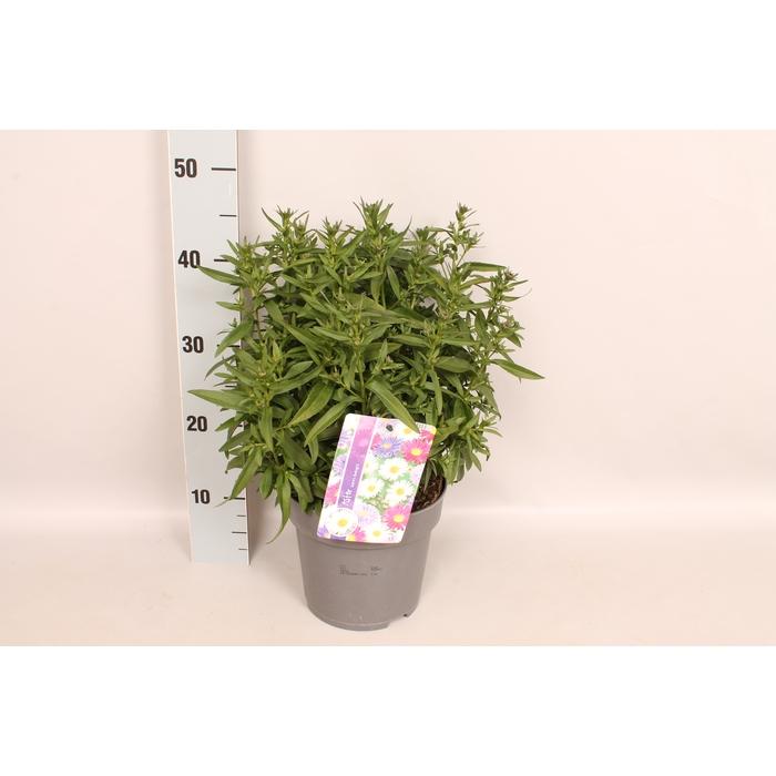 <h4>vaste planten 19 cm  Aster Diverse / mixpot</h4>