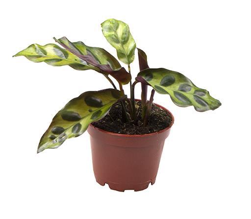 Calathea Lancifolia 6Ø 12cm