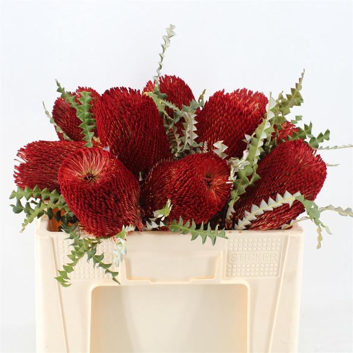 <h4>Banksia Speciosa Red</h4>