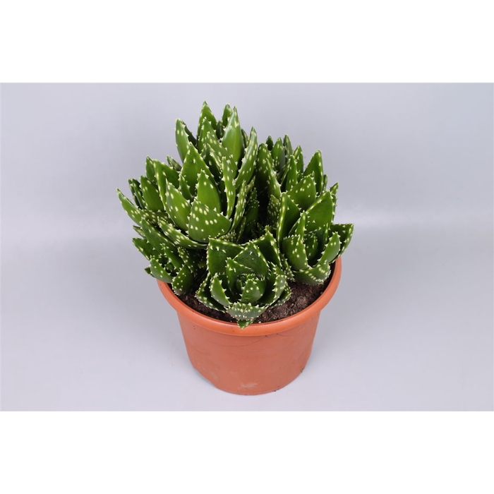 <h4>Aloe Variegata Magic</h4>