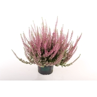 <h4>Calluna vulgaris Beauty Lady® paars</h4>