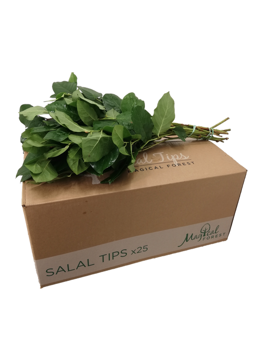 <h4>SALAL  TIPS MAGICAL FOREST</h4>