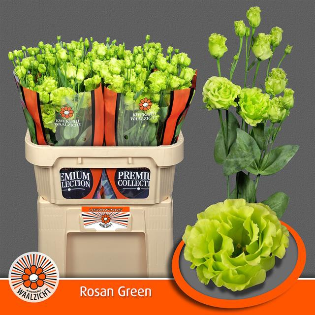 <h4>EUS G ROSAN GREEN</h4>